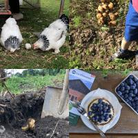 Bio-Kartoffeln selber ernten